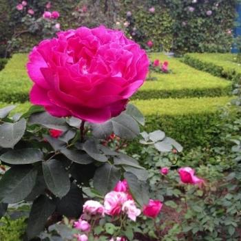 Trandafir urcator, cu flori de culoare roz, Yves Piaget, Meilland #2