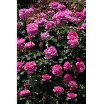 Trandafir urcator, cu flori de culoare roz, Yves Piaget, Meilland
