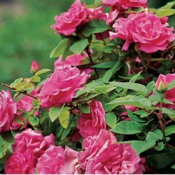 Trandafir urcator, cu flori de culoare roz-aprins, Zephirine Drouin, Meilland #2