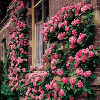 Trandafir urcator, cu flori de culoare roz-aprins, Zephirine Drouin, Meilland