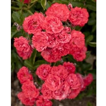 Trandafir  peisaj, cu flori de culoare roz corail, Coral Drift, Meilland
