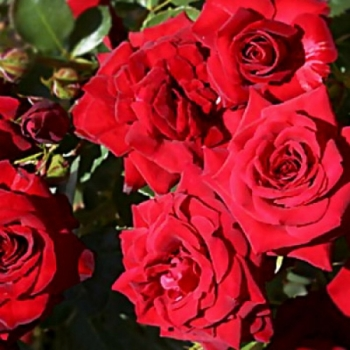 Trandafir cu flori grupate, de culoare rosu inchis, Niccolo Paganini, Meilland #2