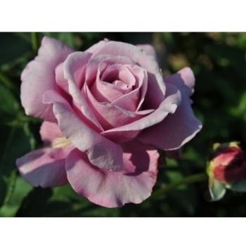 Trandafir cu flori mari, de culoare mov-liliachiu, Charles de Gaulle, Meilland #2