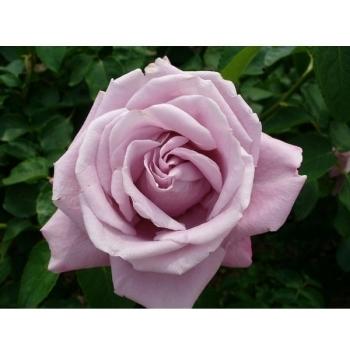 Trandafir cu flori mari, de culoare mov-liliachiu, Charles de Gaulle, Meilland #3