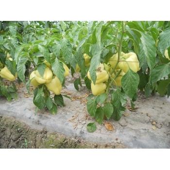 Seminte ardei gras Barbara(2000 sem) Agrosel #8