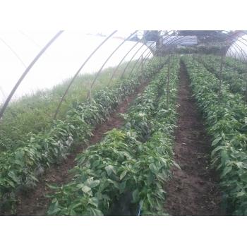 Seminte ardei gogosar Stef(2000 sem) Agrosel #3