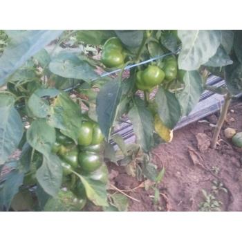 Seminte ardei gogosar Stef(2000 sem) Agrosel #4