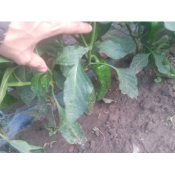 Seminte ardei gogosar Stef(2000 sem) Agrosel #7
