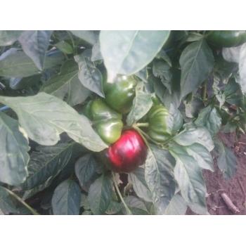 Seminte ardei gogosar Stef(2000 sem) Agrosel