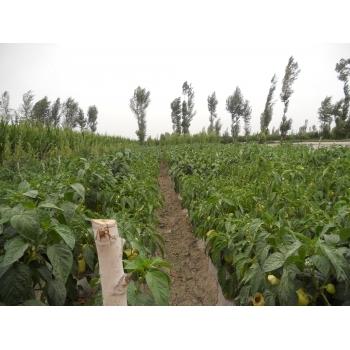 Seminte ardei gras Barbara(1 gr) Agrosel #4