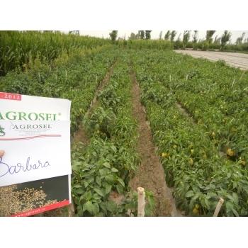 Seminte ardei gras Barbara(1 gr) Agrosel #2