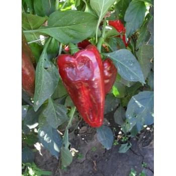 Seminte ardei lung Alexandru(1 gr) Agrosel #13