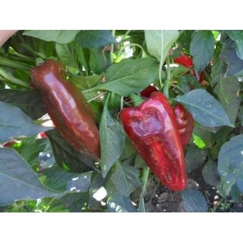 Seminte ardei lung Alexandru(1 gr) Agrosel #14