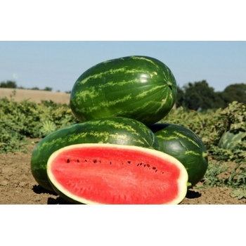 Seminte pepene verde Mellina  F1  (1000 sem), Clause