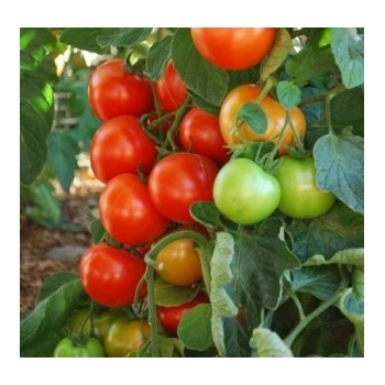 Seminte tomate Oasis F1 (100 sem), Clause