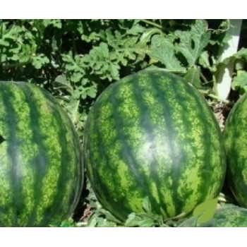 Seminte pepene verde Catherine F1 (1000 sem), Clause #2