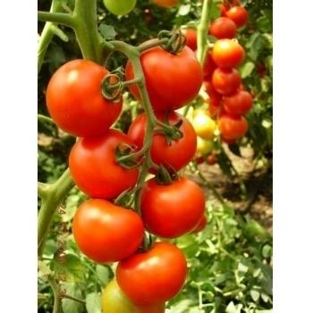 Seminte Tomate hibrid Primadona F1, 500 sem,  Hazera&Nickerson