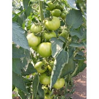 Seminte tomate ZKI 04240 F1, 250 seminte #4