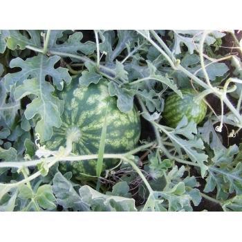 Seminte pepene verde Sultan F1 , 1000 sem #6