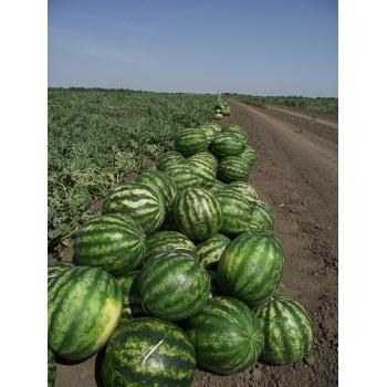 Seminte pepene verde Sultan F1 , 1000 sem #2
