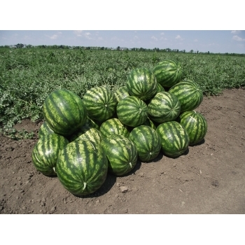 Seminte pepene verde Sultan F1 , 1000 sem #7