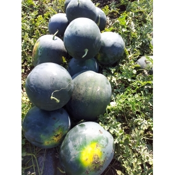 Seminte pepene verde Nostalgia , 100 sem #3