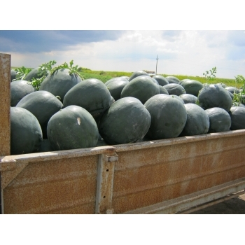 Seminte pepene verde Nostalgia , 1000 sem #7
