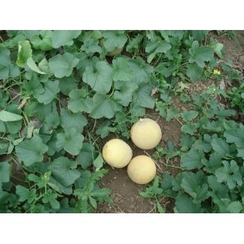 Seminte pepene galben Milica F1 (ZKI 1112 F1) , 100 sem #2