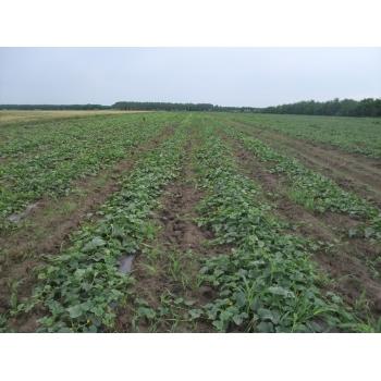 Seminte pepene galben Milica F1 (ZKI 1112 F1) , 100 sem #5