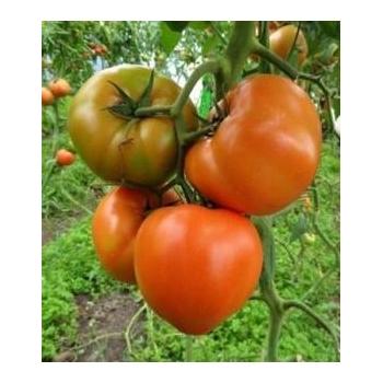 Seminte Tomate Ismini F1, 500 seminte, Hazera&Nickerson